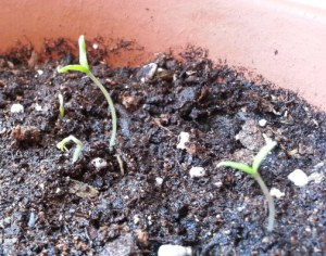 Ostara seedlings Goddess Spiral